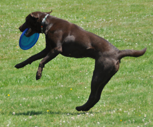 Choco doing Dog Frisbee