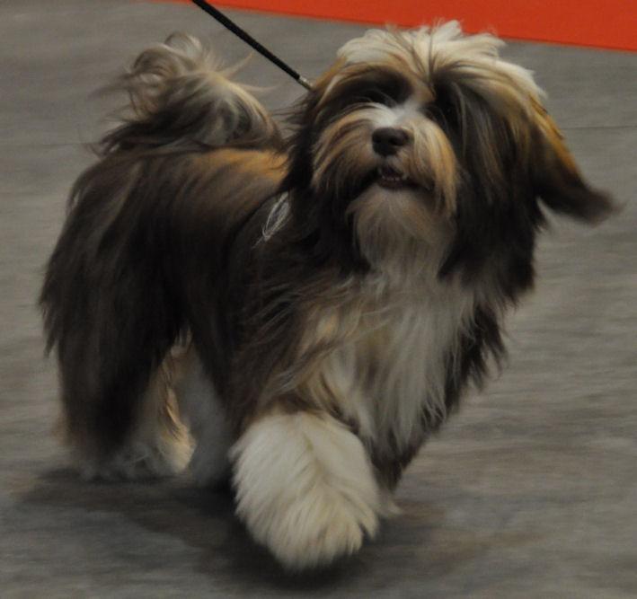Het HondenForum • Bekijk onderwerp - Havanezer en overige ...
