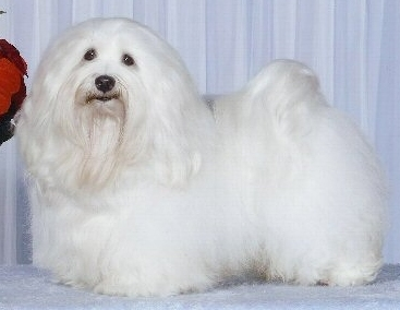 Voila Clean Sweep - owned by Ashstone Havanese Canada