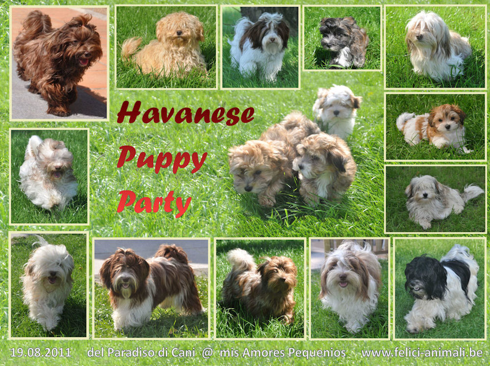 Havanese Puppy Party (Chocolate & Red)